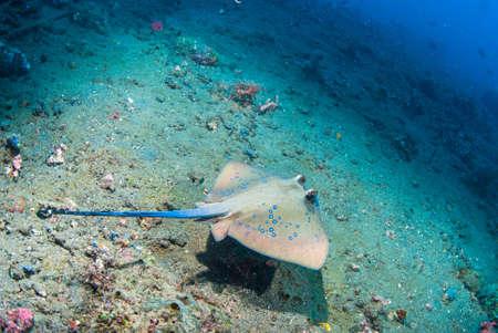taeniura: Blue spotted stingray (Taeniura lymma), Bali, Indonesia Stock Photo