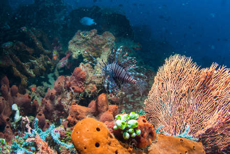 common lionfish: Common lionfish (Pterois volitans) underwater in Bali, Indonesia