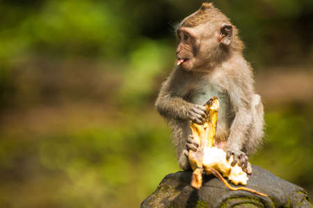 Balinese monkey with banana, Ubud Monkey Forest, Bali Stock Photo - 16342039