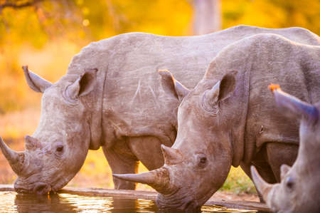 Southern white rhinoceroses (Ceratotherium simum simum) at watering hole