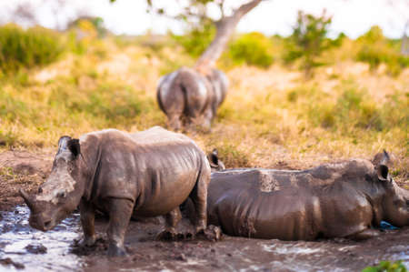 Group of Southern white rhinoceroses (Ceratotherium simum simum) photo