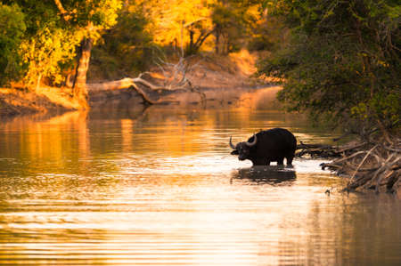 Cape buffalo (Syncerus caffer) drinking from river photo