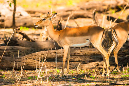 Impala ewe (Aepyceros melampus), Chobe National Park photo