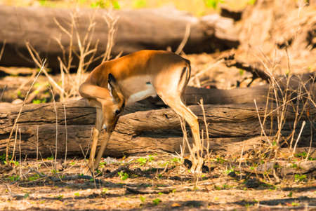 Impala ewe (Aepyceros melampus), Chobe National Park photo