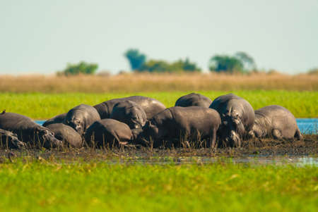 wallowing: Large group of hippopotamuses in mud, Chobe National Park Stock Photo