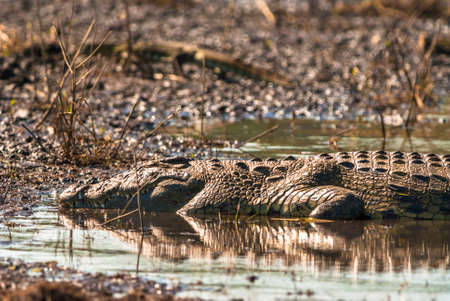 Crocodile sleeping in the mud, Chobe National Park photo