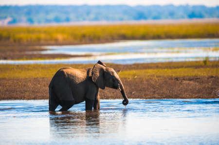 Baby elephant (Loxodonta africana), Chobe National Park