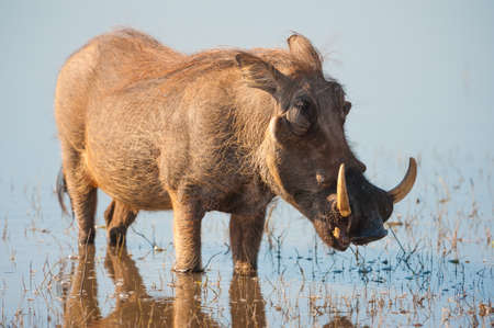 Brown hairy warthog in the water of a river Stock Photo - 16514719