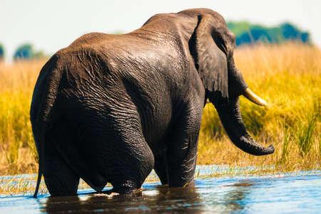 despacio: Arbusto africano elefante (Loxodonta africana) cruce del río