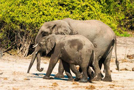 huddling: Family of african bush elephants (loxodonta africana)