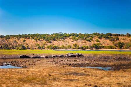 pozo de agua: Gran grupo de hipopótamos en el barro, Parque Nacional de Chobe Foto de archivo