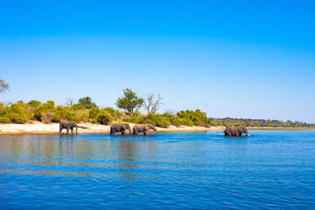 Elephants walking into the river, Chobe National Park