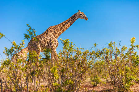 Giraffe  Giraffa camelopardalis  walking  photo