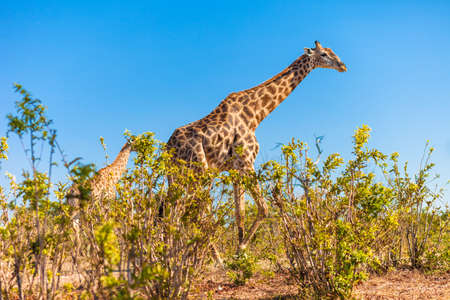 Giraffe  Giraffa camelopardalis  walking, Chobe National Park photo