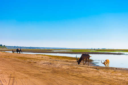 chobe: Impala, kudu, and elephants, Chobe National Park