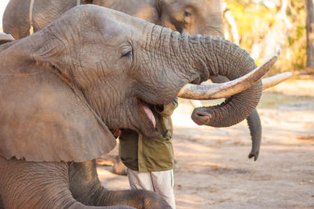 swallowing: African elephant swallowing peanuts for a snack