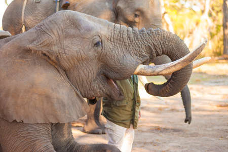 African elephant swallowing peanuts for a snack photo