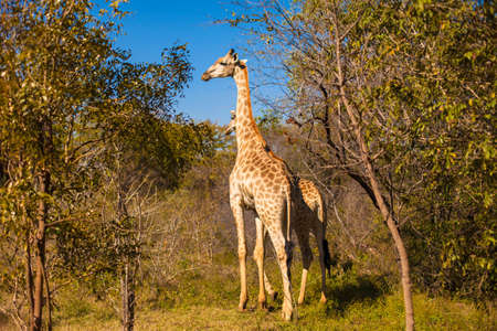 Giraffe (Giraffa camelopardalis) walking through grassland, rural Zambia photo