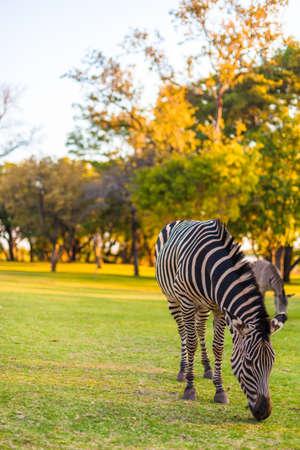 Plains zebra (Equus quagga) grazing, South Africa Stock Photo - 16620058
