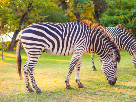 Plains zebra (Equus quagga) grazing, South Africa photo