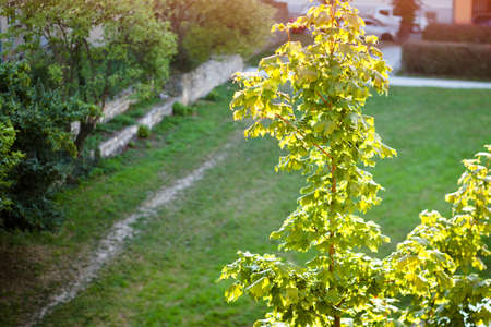 acer platanoides: Maple tree (Acer platanoides) in Germany with sunlight Stock Photo