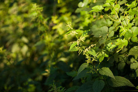 stinging: Stinging nettle (Urtica dioica) plant growing in the sunlight