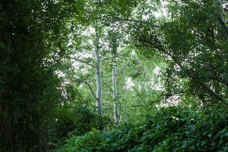 Berken (Betula pendula) bomen in het bos, Frankfurt (Oder), Duitsland Stockfoto