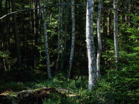 Birch trees and forest in Tiveden National Park, Sweden Stock Photo