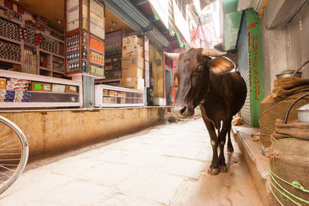 india cow: Cow roaming the streets of Varanasi, India Editorial
