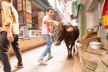 passerby: VARANASI, INDIA - 25 Oct 2016: Passerby interact with cow in the alleyways on October 25, 2016 in Varanasi, India