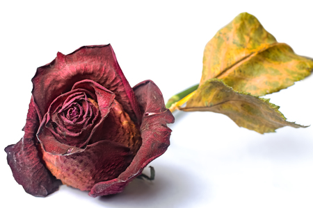 Wilted red rose over white isolated background