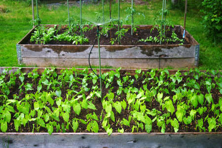 Two raised beds of beans and tomatos  being watered  photo