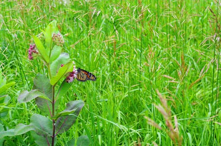 milkweed butterfly: A Monarch butterfly on milkweed Stock Photo