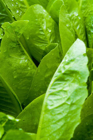romaine: Romaine Lettuce growing in an urban garden Stock Photo