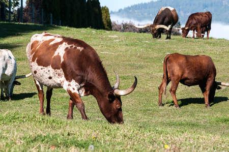 longhorn cattle: Ganado Longhorn pastoreo en la ladera cerca de Kelowna