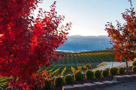 Vineyard: Una vista de otoño del Benson Viñedo en la puesta del sol
