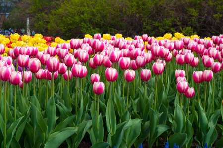 White and Red with Yellow Tulips photo