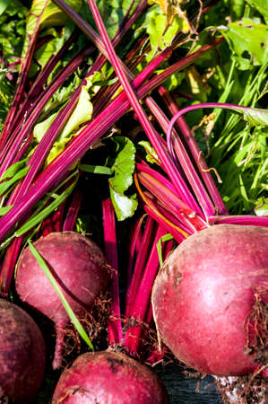 beets: Beets just picked from an urban garden