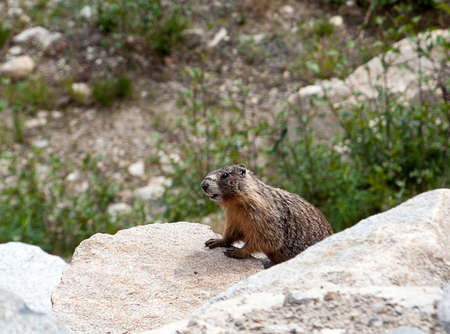groundhog: Groundhog checking out the area. Stock Photo