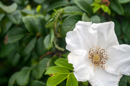 Wild White Rose on the banks of the Bay of Fundy, New Brunswick