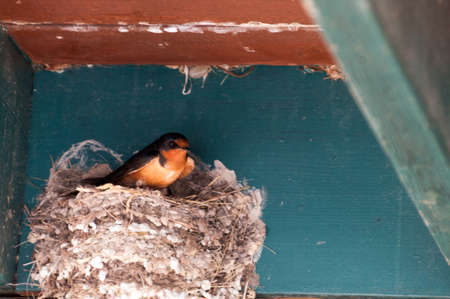 songster: Barn Swallow in her nest in the eaves of a building