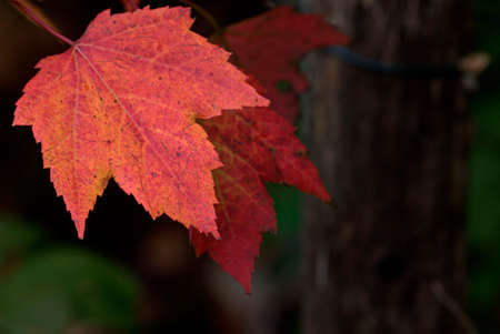 Maple Leaf turning red in the fall Stok Fotoğraf