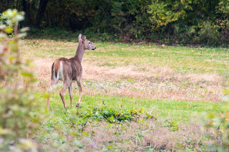 Deer leaving a field in Sussex after enjoy the fruits of an apple tree.