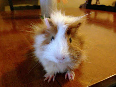 otganimalpets01: Guinea Pig