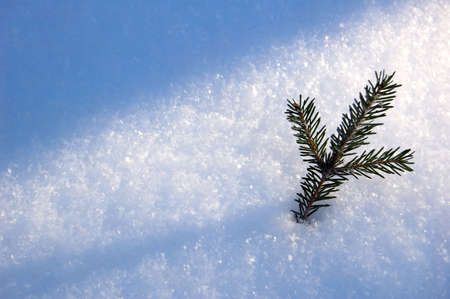 branch of the pine on snow, close-up photo