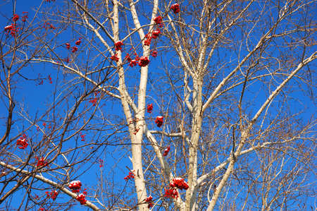 branches of rowanberry under snow on background blue sky Banco de Imagens