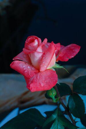 verdunkeln: Bl�hen rosa rose auf dem Hintergrund abdunkeln Lizenzfreie Bilder