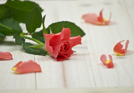 A red Rose and rose sheets photo
