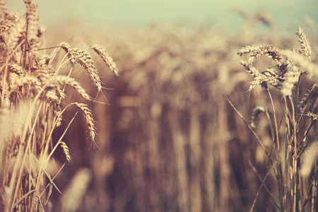 Ripe golden wheat ears on summer field. Shallow depth of field