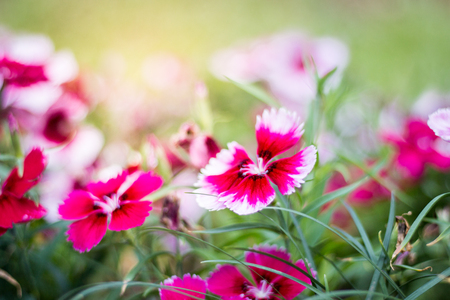 Beautiful pink flowers in the garden, floral background, flower images Imagens